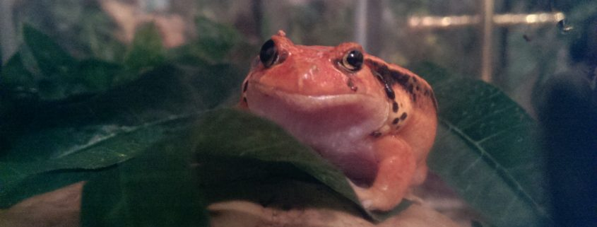 Scottish Couriers deliver Tomato Frogs safe and sound