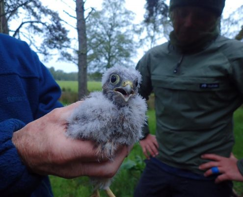 Scottish Couriers help save birds of prey