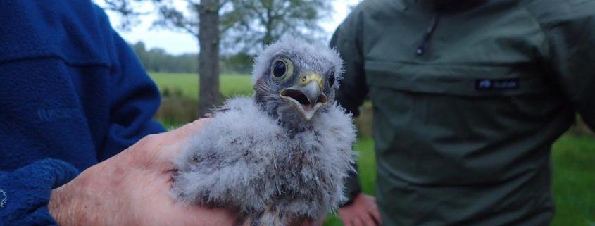 Scottish Couriers help save birds of prey